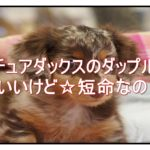 ミニチュアダックスのダップルって『寿命が短い』って本当!?