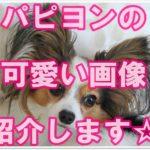 人気のパピヨン☆飼いたくなる様な可愛い画像を集めました!!