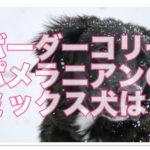 ボーダーコリーとポメラニアン☆のミックス犬の特徴を予想!!