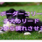 ボーダーコリーの子犬★リードっていつから慣れさせるべき??