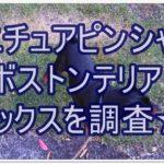 ミニチュアピンシャーとボストンテリアのミックスを調査★☆