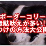 ★ボーダーコリー★無駄吠えが多い!?しつけの方法を大公開!!