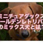 ミニチュアダックスとゴールデンレトリバーのミックス犬は??