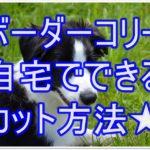 ボーダーコリー☆お手入れの方法と自宅でできるカットとは??