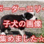 ボーダーコリー☆子犬の可愛い画像と動画を集めてみました!!