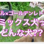 ビーグル×ゴールデンレトリーバーのミックスはどんな犬なの?