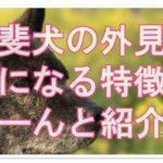 甲斐犬の外見とその気になる特徴は?基礎情報をどーんと紹介!