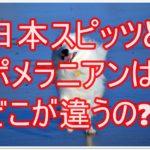 白くて可愛い日本スピッツとポメラニアン☆その違いを検証!!