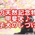国の天然記念物☆甲斐犬♪子犬のしつけ方法をご紹介します!!