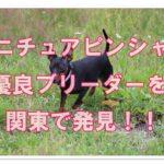 ミニチュアピンシャーの優良ブリーダー!関東で厳選しました!