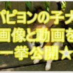 パピヨンの子犬って可愛くて面白い★画像と動画を一挙公開!!