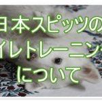 日本スピッツのトイレトレーニング☆★気を付けることは何??