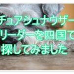 ミニチュアシュナウザーのブリーダー☆四国にて探しました!!