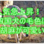 今人気上昇中の日本犬は四国犬!!可愛い毛色の赤胡麻を紹介☆