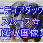 ミニチュアダックスのスムース☆色別に可愛い画像紹介します