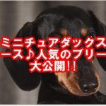 ★ミニチュアダックス★スムース♪人気のブリーダー大公開!!