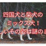 四国犬と柴犬のミックスは珍しい?天然記念物同士のミックス!