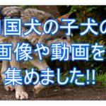 四国犬の子犬の写真や動画10選!!たくさん見たい人必見です★