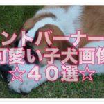 セントバーナードの可愛い子犬画像♪もふもふたっぷり40選☆