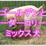 ゴールデンレトリバーとボーダーコリーのミックスを大調査!!