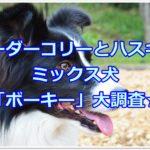 ボーダーコリーとハスキーのミックス犬「ボーキー」大調査☆