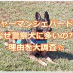 ジャーマンシェパードはなぜ警察犬に多いの??理由を大調査☆