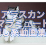 アラスカンマラミュート子犬動画21選!!段差にハマって大変!!