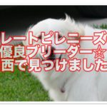 グレートピレニーズの優良ブリーダー☆関西で見つけました!!