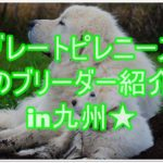 もふもふで可愛いグレートピレニーズのブリーダー紹介in九州