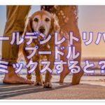 ゴールデンレトリバーとプードルのミックス犬ってどんな犬??