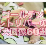 ゴールデンレトリバーの子犬がかわいい!可愛すぎる写真60選!