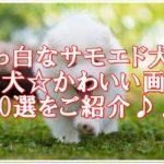 真っ白なサモエドの仔犬のかわいい画像・動画20選をご紹介♪