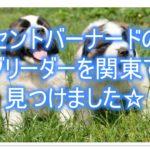 セントバーナード☆の優良ブリーダーを関東で見つけました!!