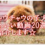 チャウチャウの子犬のおもしろかわいい動画20選☆ご紹介☆♪