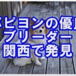 かわいいパピヨン☆の優良ブリーダーを関西で見つけました!!