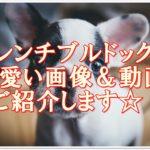 厳選!!フレンチブルドッグの可愛い画像&動画20選をご紹介☆