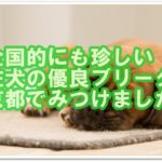 珍しい!?土佐犬の優良ブリーダーさん☆京都でみつけました!!