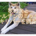 秋田犬とゴールデンレトリバーのミックス!アキリバーを調査!