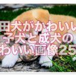 秋田犬の子犬がかわいい!子犬から成犬までかわいい画像25選!