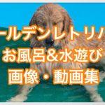 ゴールデンレトリバーのお風呂の動画と水遊び中の動画紹介☆