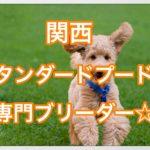 関西で発見‼︎スタンダードプードルの専門ブリーダーを紹介☆