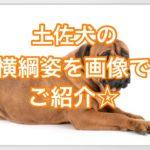 土佐犬の横綱は土佐闘犬の中のナンバー1☆画像で紹介します
