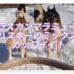 アラスカンマラミュートとハスキーのミックスがカッコイイ!!