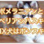 シベリアンハスキーとポメラニアン☆ミックス犬はポンスキー