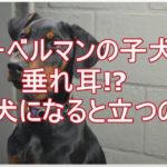 ドーベルマンの子犬★本来は垂れ耳!?なんで立ち耳になるの!?