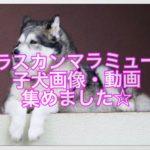 アラスカンマラミュートの子犬画像・動画☆集めてみました☆