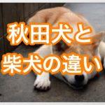 秋田犬と柴犬の違いは⁇秋田犬の大きさは柴犬の4倍もある‼︎