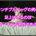 フレンチブルドッグのオスのトイレ☆足上げはある習性である
