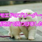 サモエドのブリーダー☆関西地方在住のブリーダー紹介します