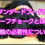 スタンダードプードルのハーフチョーク☆首輪を使用する意味